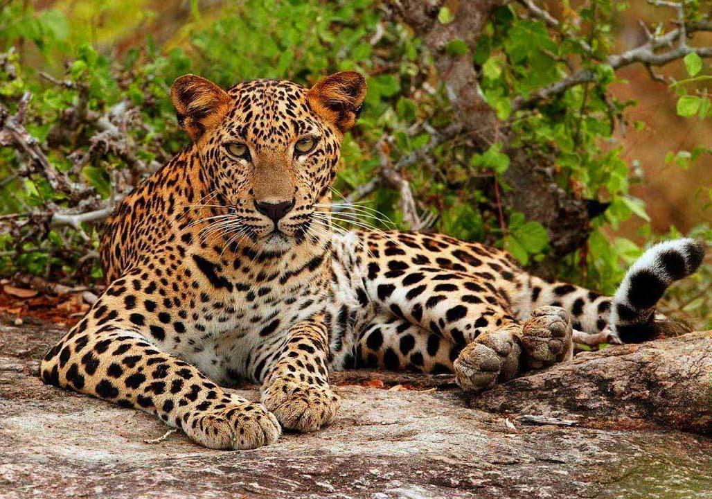 Yala Tiger